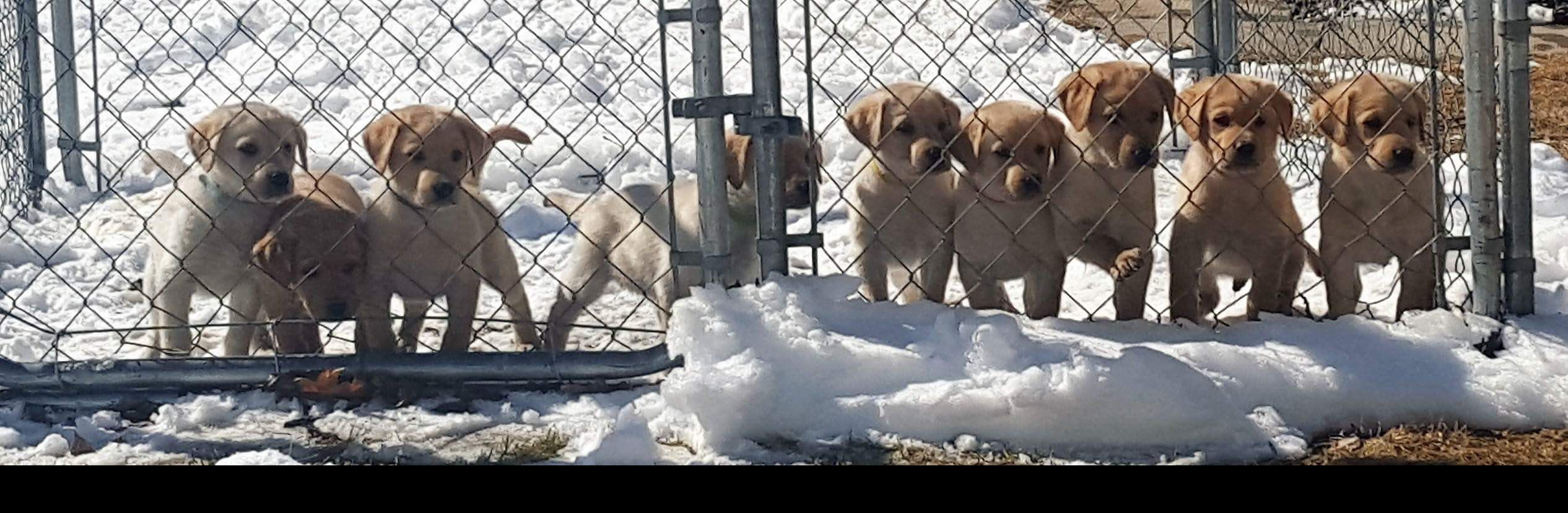 Dogs for Sale - Cooperstown Kennels